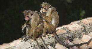Samenwerken apen
