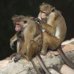 Apen samenwerken
